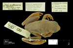 Dendropsophus mathiassoni by Universidad de La Salle. Museo de La Salle