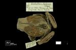 Gastrotheca helenae by Universidad de La Salle. Museo de La Salle