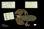 Dendropsophus bogerti by Universidad de La Salle. Museo de La Salle