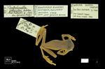 Centrolene buckleyi by Universidad de La Salle. Museo de La Salle