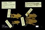 Rhinella nicefori by Universidad de La Salle. Museo de La Salle