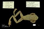 Dendropsophus triangulum by Universidad de La Salle. Museo de La Salle