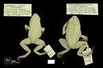 Phyllobates terribilis by Universidad de La Salle. Museo de La Salle