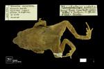 Rhinella acrolopha by Universidad de La Salle. Museo de La Salle