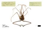Heterophrynus cervinus Pocock, 1894 by Universidad de La Salle. Museo de La Salle