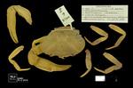 Neostrengeria libradensis by Universidad de La Salle. Museo de La Salle