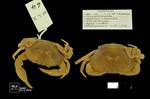 Neostrengeria boyacensis by Universidad de La Salle. Museo de La Salle