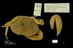 Hypolobocera bouvieri by Universidad de La Salle. Museo de La Salle