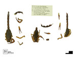 Tityus lourencoi by Universidad de La Salle. Museo de La Salle
