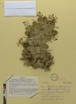 Berberis tabiensis (Camargo) by Universidad de La Salle. Museo de La Salle