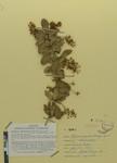 Berberis carupensis (Camargo) by Universidad de La Salle. Museo de La Salle