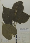 Piper nicefori (Trel Yunck) by Universidad de La Salle. Museo de La Salle