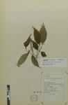 Piper pernodosus (Yunker) by Universidad de La Salle. Museo de La Salle