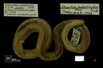 Atractus indistinctus Prado, 1940 by Universidad de La Salle. Museo de La Salle