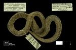 Atractus crassicaudatus (Duméril, Bibron & Duméril, 1854) by Universidad de La Salle. Museo de La Salle