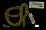 Atractus manizalesensis Prado, 1940 by Universidad de La Salle. Museo de La Salle