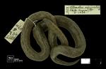 Atractus nigriventris Amaral, 1933 by Universidad de La Salle. Museo de La Salle