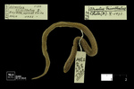 Atractus trivittatus Amaral, 1933 by Universidad de La Salle. Museo de La Salle