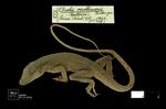 Anolis apollinaris Boulenger, 1919 by Universidad de La Salle. Museo de La Salle